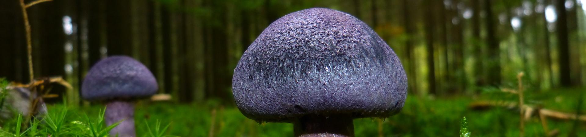 purple-mushroom-1920×450